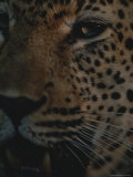 Close View of the Face of a Leopard Photographic Print by Kim Wolhuter