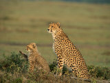 Mother Cheetah and Her Young Look Out onto the Landscape Photographic Print by Norbert Rosing