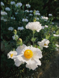 Lacy, Delicate Blooms of the Yellow and White, Matilija Poppy Photographic Print by Rich Reid