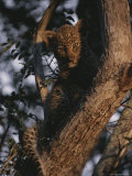 Juvenile Leopard Peers From a Treetop Perch Photographic Print by Kim Wolhuter