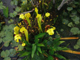 Pitcher Plants Photographic Print by Raymond Gehman