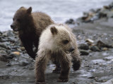 Pair of Grizzly Bear Cubs Run From Wolves As Mother Pursues a Moose Photographic Print by John Eastcott & Yva Momatiuk