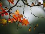 Vine Maple Leaves To Displaying Bright Autumn Colors Photographic Print by Melissa Farlow