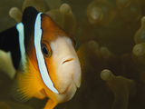 Clown Anemonefish Among the Stinging Tentacles of a Sea Anemone Photographic Print by Tim Laman