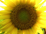 Close-up of a Sunflower at the Sunflower Blossom Center in Asheville Photographic Print by  White & Petteway