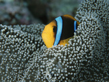 Orange-Fin Anemonefish Among the Tentacles of a Sea Anemone Photographic Print by Tim Laman