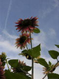 Red Sunflower Blossoms Backlit Against a Blue Sky Photographic Print by  White & Petteway