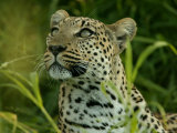Alert Leopard Looking About As It Lies in Tall Grass Photographic Print by Beverly Joubert