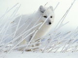 Arctic Fox Conceals Itself in Rye Grass Covered with Hoar Frost Photographic Print by Paul Nicklen