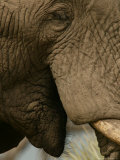 Close Detail of the Mouth and Eye of an African Elephant Photographic Print by Beverly Joubert