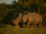 Pair of White Rhinoceroses Strolling at Twilight Photographic Print by Beverly Joubert