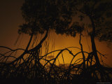 Silhouetted Mangrove Trees and Roots at Sunset Photographic Print by Michael Nichols