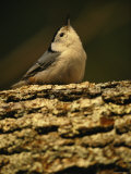 White-Breasted Nuthatch Sitting on a Tree Trunk Photographie par Tim Laman