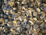 Assortment of Clam and Scallop Shells Photographic Print by Michael Melford