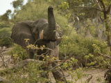 African Elephant with Trunk Raised Photographic Print by Beverly Joubert