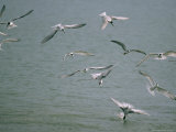 Group of Terns Hunting over Water and Diving In Photographic Print by Michael Nichols