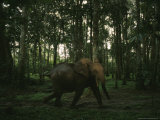 African Forest Elephant in a Woodland Setting Photographic Print by Michael Nichols