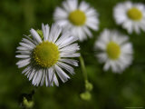 Daisy Fleabane, a Wildflower of the Blue Ridge Mountains Photographic Print by White & Petteway