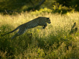 Leopard Leaping Through Tall Grass in Shaded Light Photographic Print by Beverly Joubert