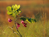 Flowers and Leaves of a Dwarf Locust Tree Photographic Print by Raymond Gehman