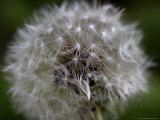 Dandelion, a Wildflower of the Blue Ridge and Smoky Mountains Photographic Print by  White & Petteway