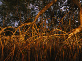Thick Tangle of Mangrove Tree Roots Photographic Print by Michael Nichols