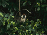 Red-Capped Mangabey Perched in a Tree Photographic Print by Michael Nichols