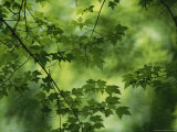 Maple Tree Branch with Spring Foliage Photographic Print by Todd Gipstein