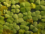 Looking Down Upon Floating Aquatic Plants That Look Like Shamrocks Photographic Print by Beverly Joubert