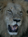 Close Up Portrait of a Male African Lion, Panthera Leo Photographic Print by Beverly Joubert