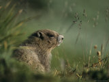 Groundhog Sitting in a Grassy Setting Lámina fotográfica por Farlow, Melissa