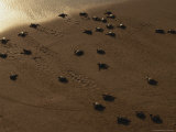 Freshly-Hatched Leatherback Sea Turtles En Route To the Sea Photographic Print by Peter Carsten