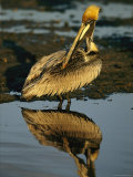 Brown Pelican Preening Its Feathers Photographic Print by Tim Laman