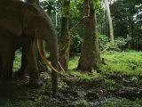 African Forest Elephant Standing at a Mud Hole in a Forest Photographic Print by Michael Nichols