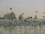 Flock of Gulls on a Beach with Sea Stacks Photographic Print by Melissa Farlow