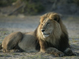 Male African Lion, Panthera Leo, Resting Photographic Print by Beverly Joubert
