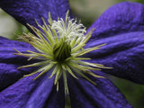 Close-up of a Clematis Flower Photographic Print by White & Petteway