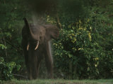 African Forest Elephant at the Edge of a Forest Photographic Print by Michael Nichols