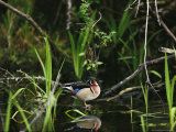 Wood Duck Reflected in Creek Water Photographic Print by Raymond Gehman