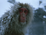 Snow-Covered Japanese Macaque Sitting Near a Hot Spring Photographic Print by Tim Laman