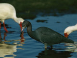 Little Blue Heron Hunting For Food Alongside White Ibises Photographic Print by Tim Laman