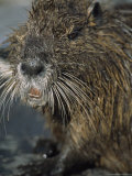 Close View of the Face of a Wet Nutria Photographic Print by Tyrone Turner
