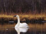 Trumpeter Swan Shaking Water Droplets From It's Head Photographic Print by Michael S. Quinton