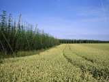 Barley and Hop Fields Grown For Beer Photographic Print by Taylor S. Kennedy