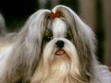 Shih Tzu Poses at a Dog Show in Bermuda