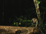 Ocelot Walking Along a Fallen Tree in a Forest Photographic Print by Steve Winter