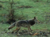 Coyote Running in Yosemite National Park Photographic Print by Phil Schermeister