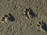 Raccoon Tracks on Newly Dredged Mud of Wetlands Restoration Project Photographic Print by Tyrone Turner