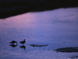 Canada Geese Standing in Calm Copper River Water at Sunset Photographic Print by Michael S. Quinton