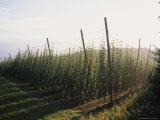 Hop Vines Ripen in Early Morning Sun Photographic Print by Taylor S. Kennedy